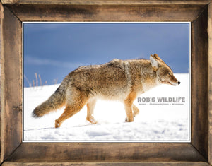 Coyote in snow, coyote in nature by Rob's Wildlife