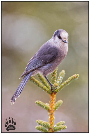 ALASKAN GRAY BIRD, Alaska