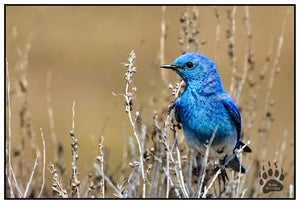 MOUNTAIN BLUE BIRD, Yellowstone National Park, Alaska