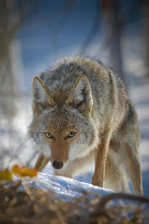 The Hunter, Coyote Art, Coyote Closeup by Rob's Wildlife