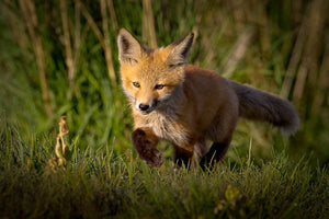 Baby Fox, Fox Kitten, Baby Kitten, Fox in nature, woodland animals by Rob's Wildlife
