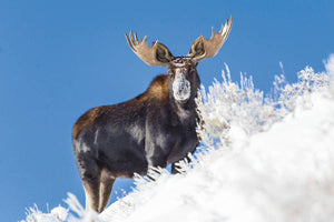 Snow faced bull moose, Moose Fine Art by Rob's Wildlife