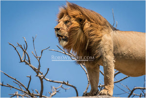 Lion side profile - Africa wildlife photography