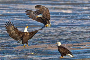 3 american bald eagles, bald eagles in nature blue background