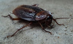 Cockroaches, a common ingredient in Chinese pharmaceuticals
