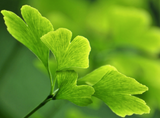 Ginkgo Biloba Supplement for cognitive benefits