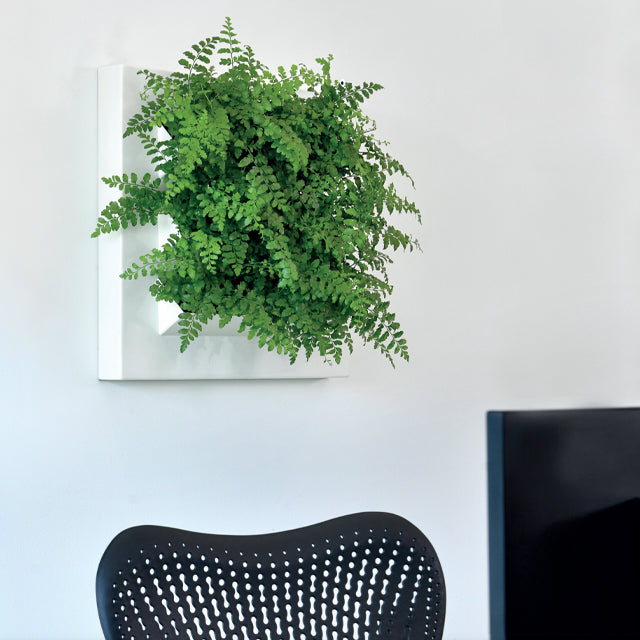 "24"" x 24"" Moss Wall Live! is living wall art that works with the Plantups Moss Wall Art system. It is designed for indoor use on the wall. This living plant wall frame can be used on its own or integrated into the moss wall art system."