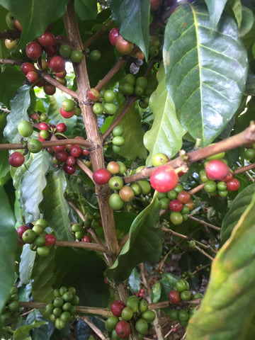 Fresh Arabica Coffee, Arabica Coffee Beans, Doi Chang Coffee, Thailand Coffee, Best coffee