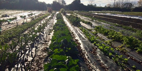 Vegetable farm 3 days after rain