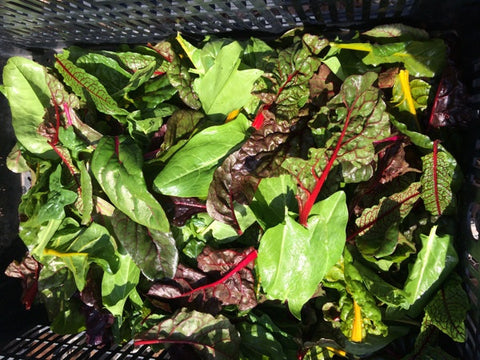 Rainbow chard, spinach and sorrel for our Winter CSA share