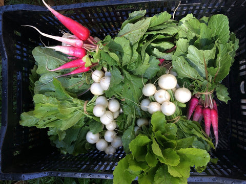 Turnips and radishes for our Winter CSA share