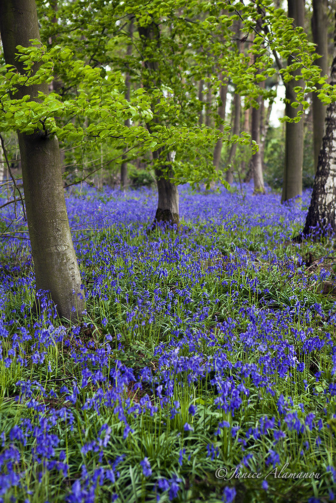 L620515 Bluebell Woodlands