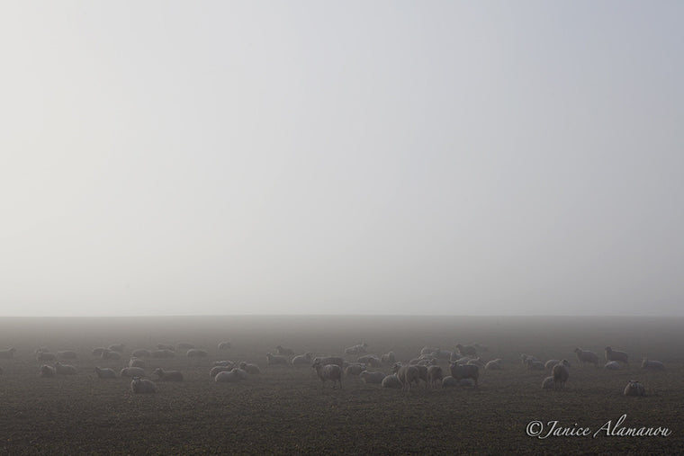 L343414 Sheep in the Mist