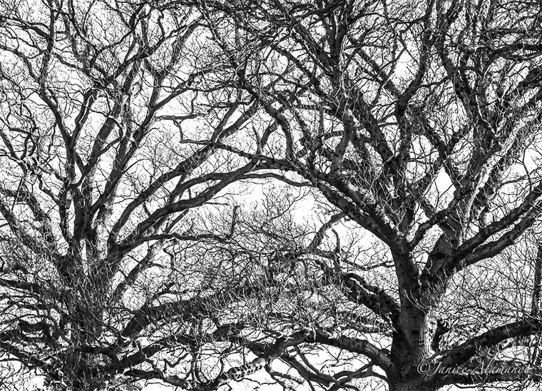 Tree 11 - Limited Edition Photograph printed on Fine Art Paper L546619
