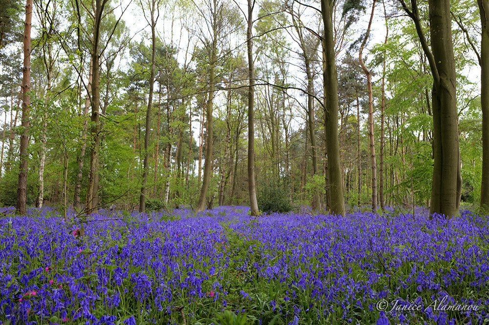 L623014 Bluebell Woods
