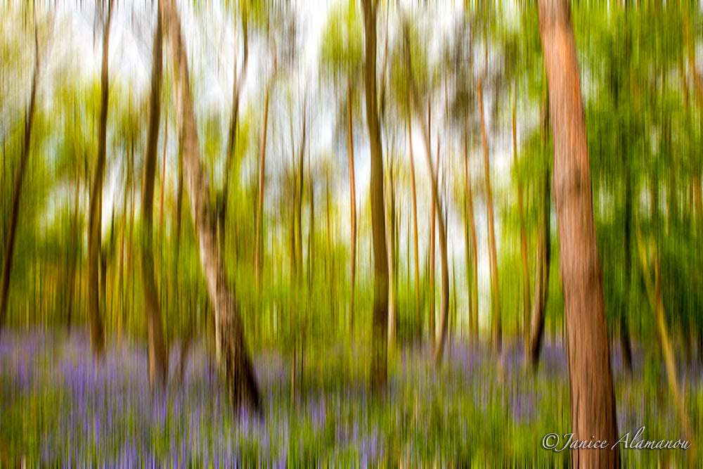 L628814 Essence of Norfolk - Bluebell Woods