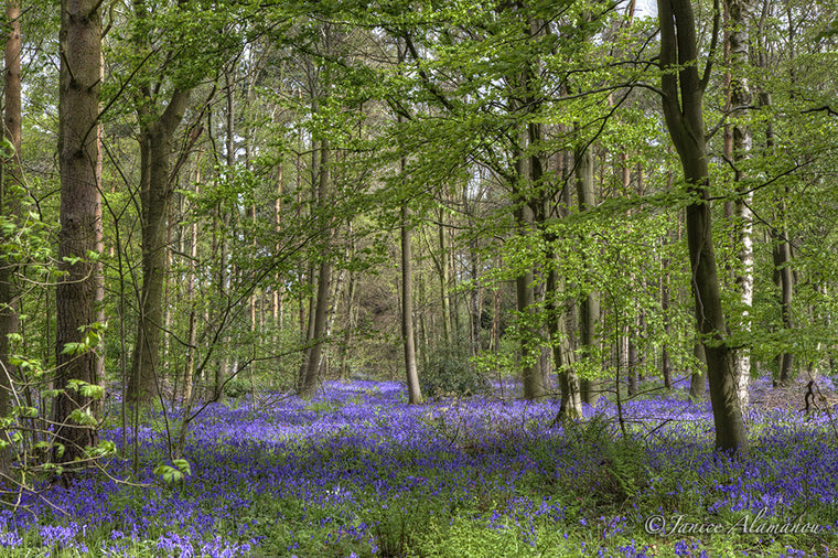 L633414 Bluebell Woodlands