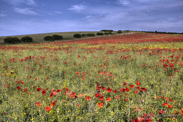 L748311 Poppy Fields