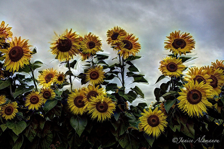 L987213 Sunflowers