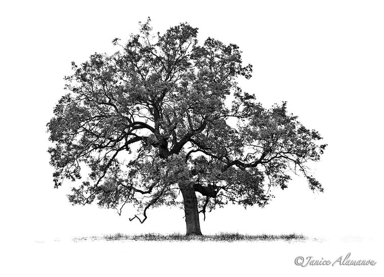 Tree 1 - Limited Edition Black and White Photograph