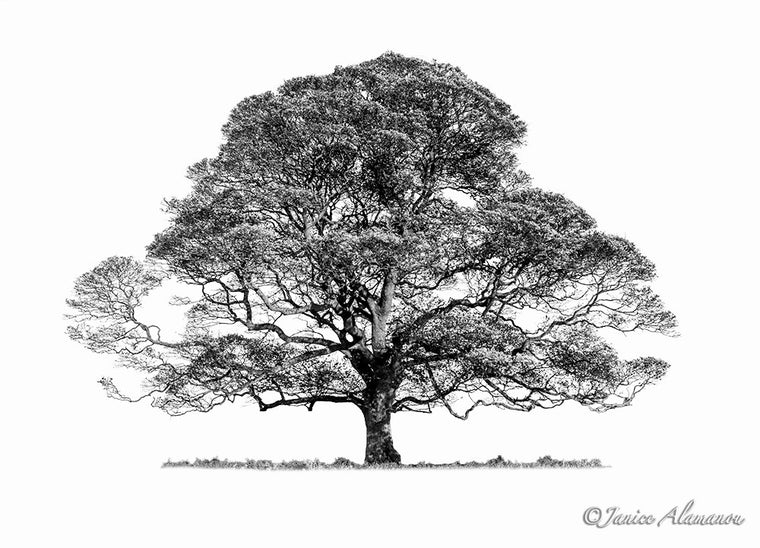 Tree 7 - Limited Edition Photograph printed on Fine Art Paper