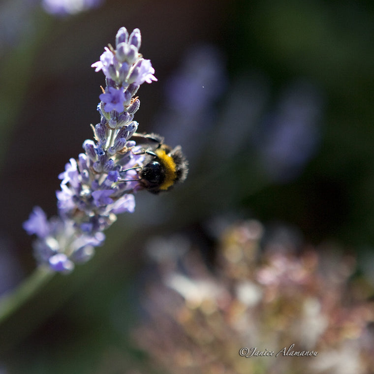 WA924610 Bee on Lavender