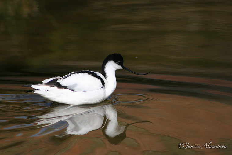 WB140 Avocet in Lake
