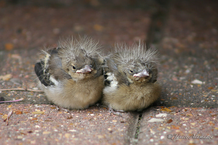 WB221 Chaffinch Chicks