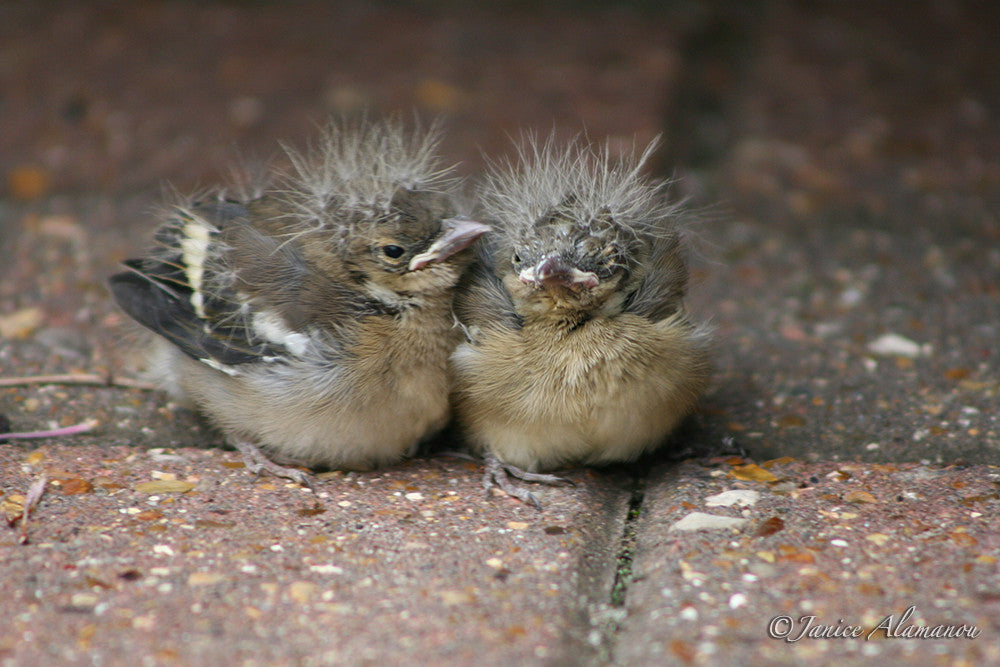 WB223 Chaffinch Chicks 2