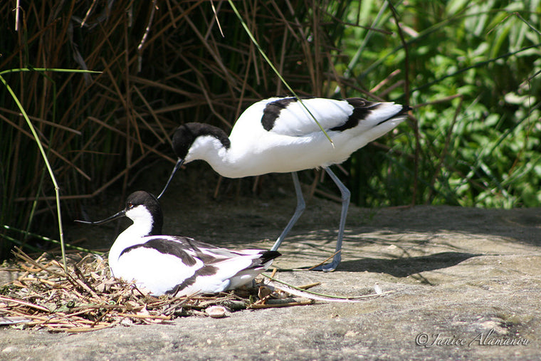WB25 Avocets at Nest