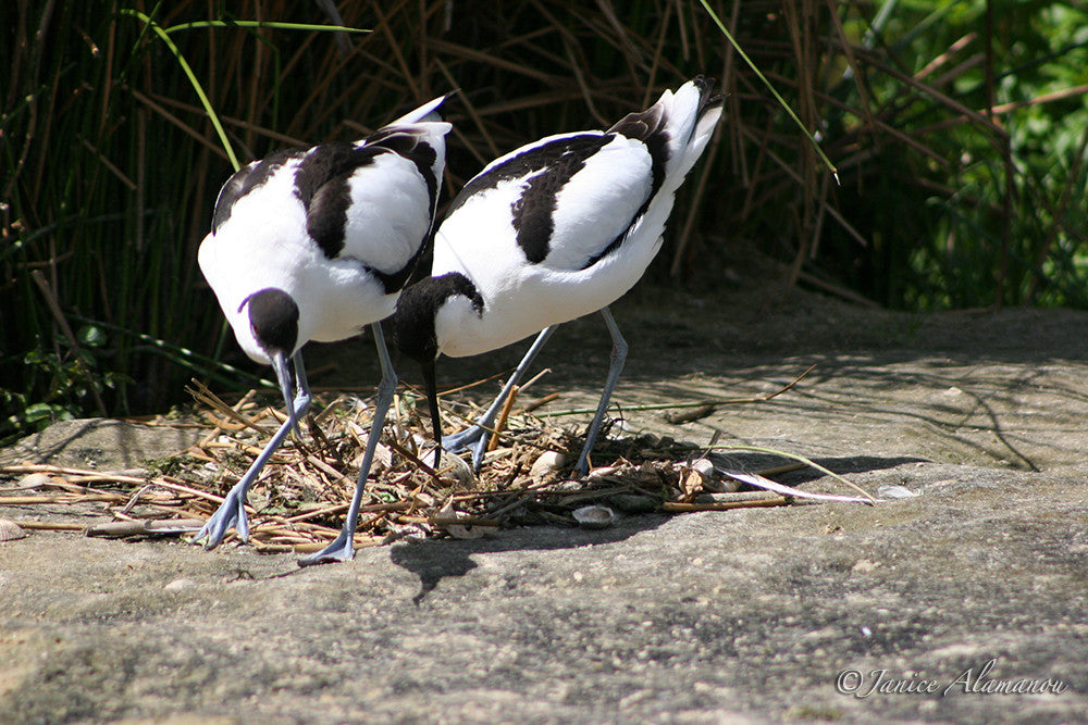 WB26 Avocets at Nest 2