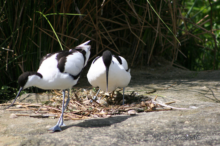 WB27 Avocets at Nest 3