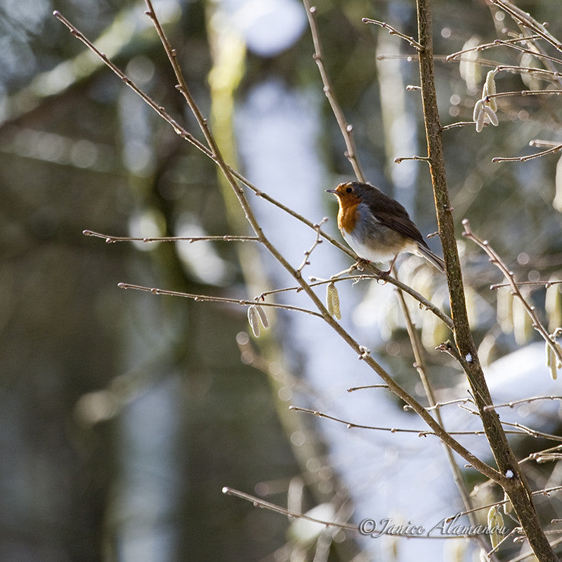 WB280410 Robin on Snowy Branch
