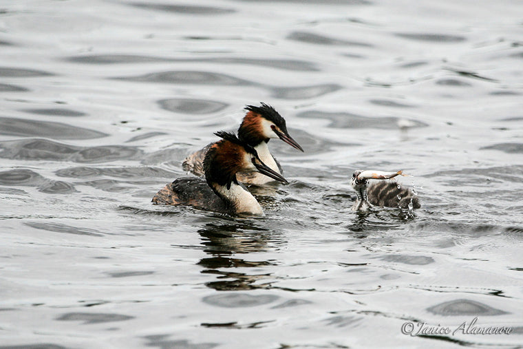 WB6389 Crested Grebes feed fish to Chick