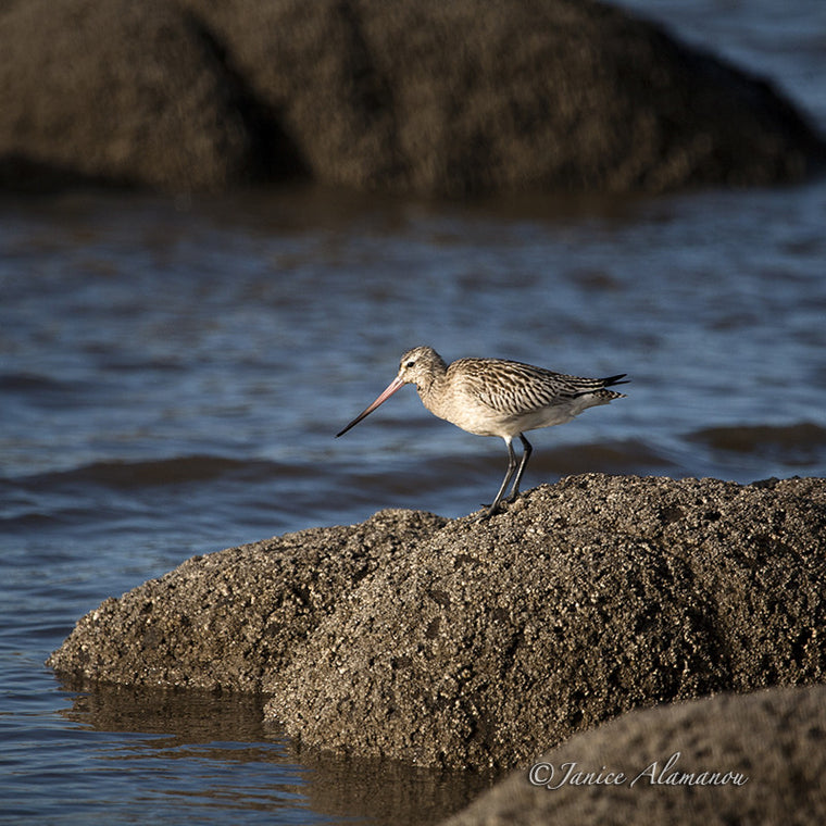 WB734411 Black Tailed Godwit on Barnacled Boulder