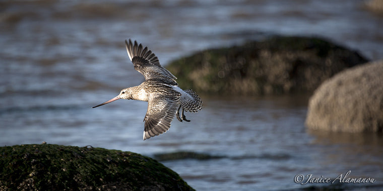 WB734911 Godwit in Flight 2