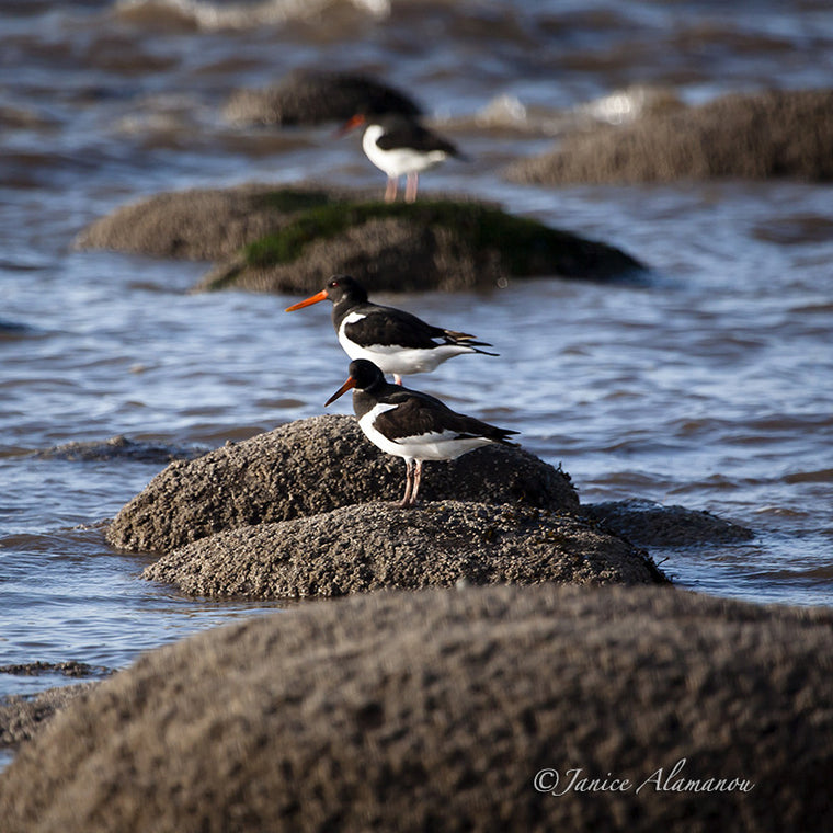 WB736211 Oyster Catchers on the Rocks