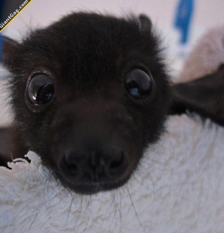 Baby Bats: How to take care of one