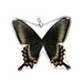 Alpine Black Swallowtail Whole Butterfly Pendant by Simona Dedek