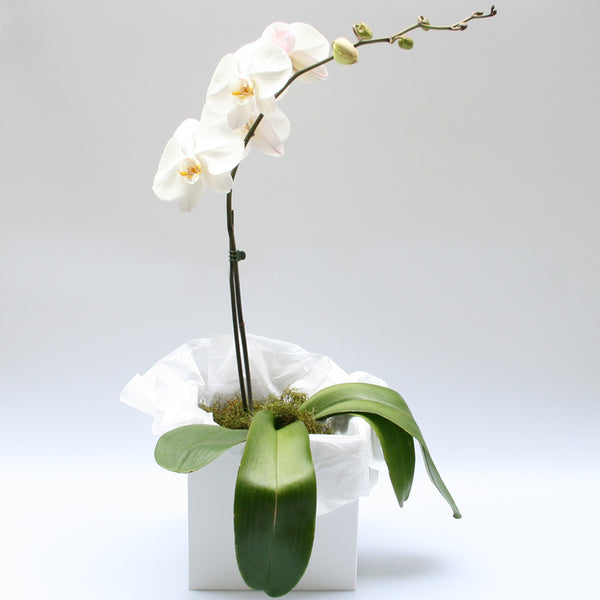Phalenopsis Orchid Plant