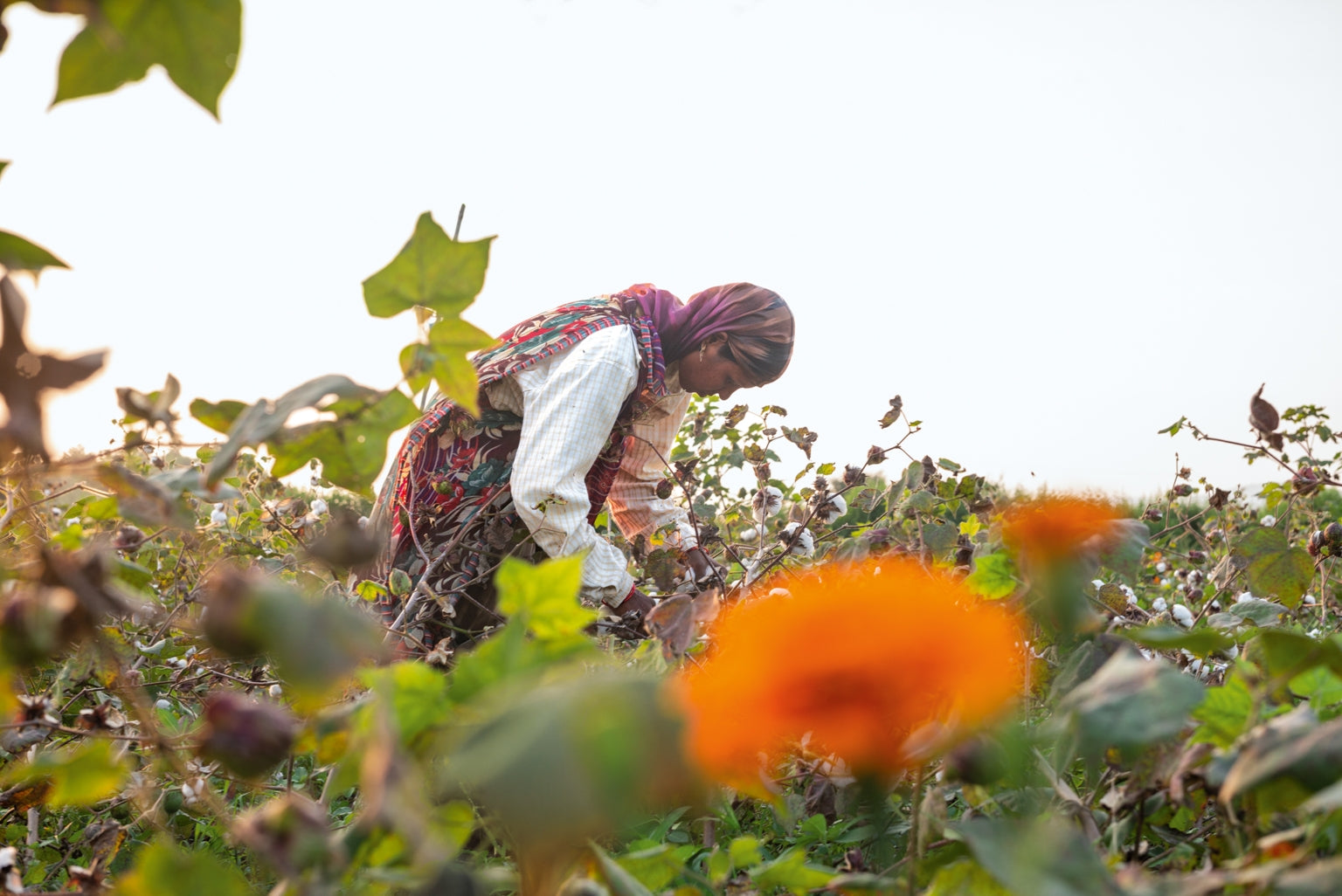A farmer inspects a cotton plant on one of more than 150 small-scale farms working toward regenerative organic certification in India. Brightly colored marigolds are planted among other plants in this natural system to attract insects as a nontoxic form of pest control. Photo: Tim Davis.