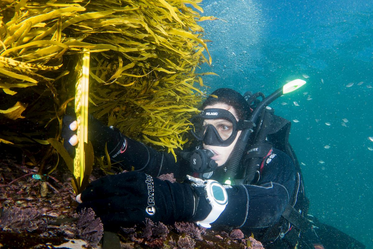 Lead marine ecologist Dr. Adriana Vergés measuring transplanted crayweed, which has flourished. Photo: John Turnbull.