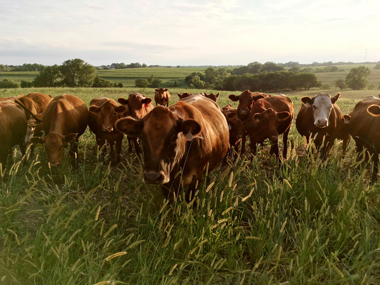 Ficke's cattle free-range graze on grass and bales of hay, which are returned to the soil in the form of cow manure and urine. Photo: courtesy Del Ficke
