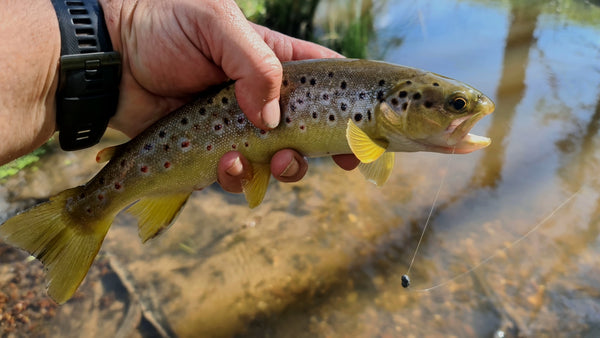 brown trout caught on a worm