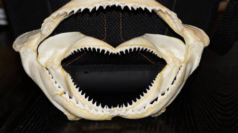Large Shark Jaw