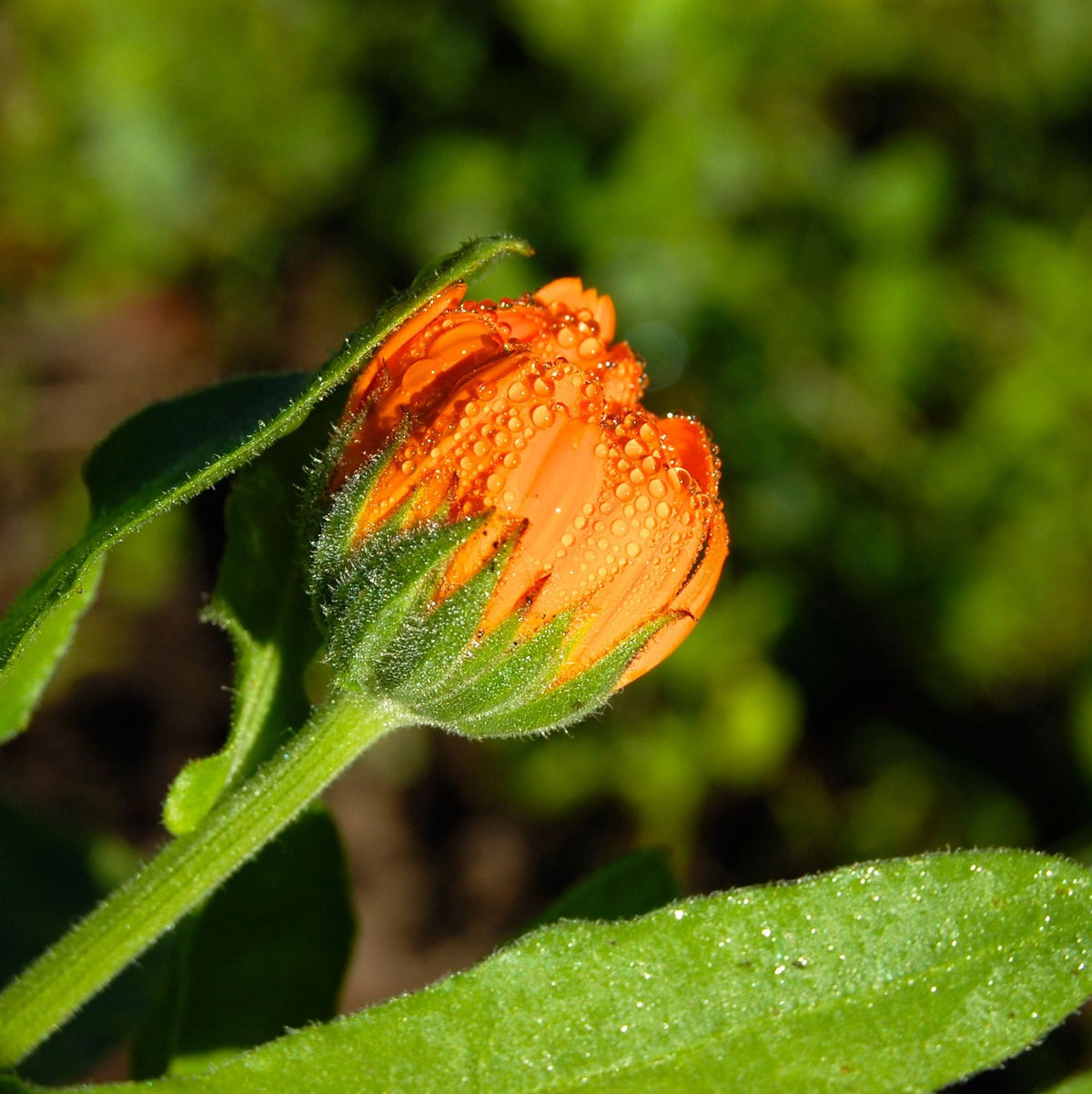 Does calendula help with scar?