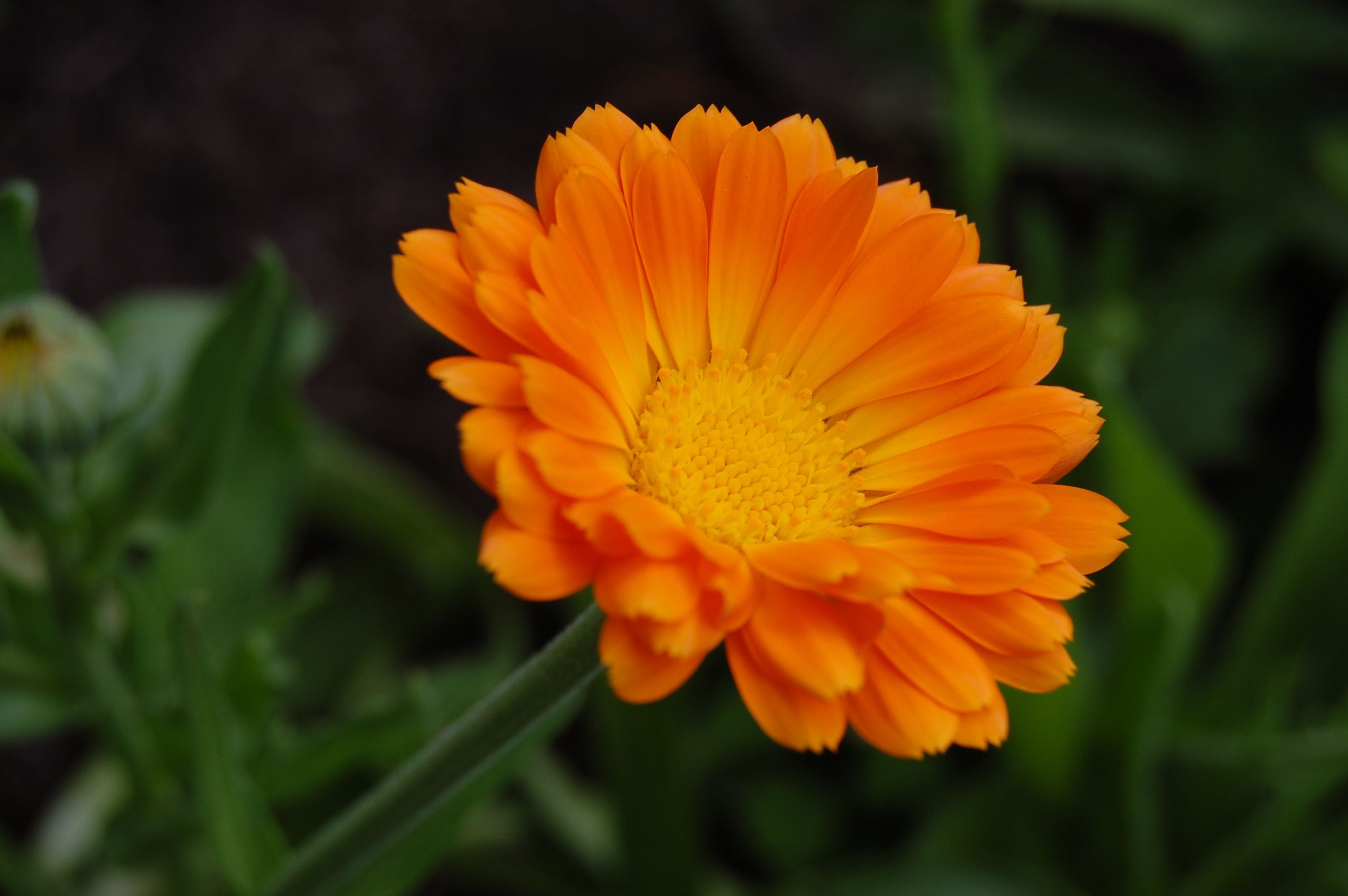 How is calendula good for your skin?
