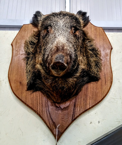 Large Boar Head on Shield