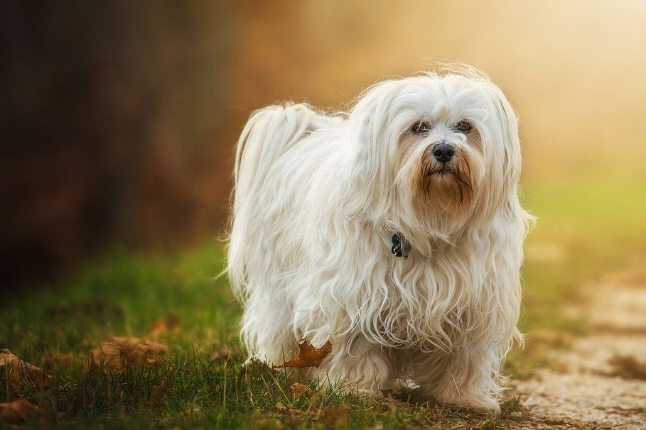 Havanese - Breed Portrait