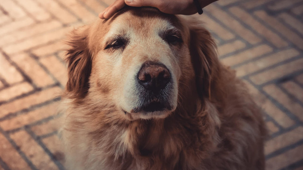 How to Take Care of Your Elderly Dog